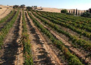 Vineyard of Fäsi estate winery