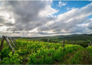 Green and beautiful vineyard of the Fattoria di Corsignano winery