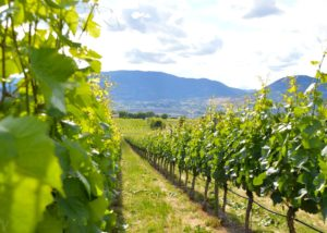 Beautiful vineyard at Four Shadows Winery