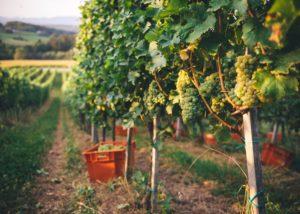 Vines in the vineyard of Frešer winery