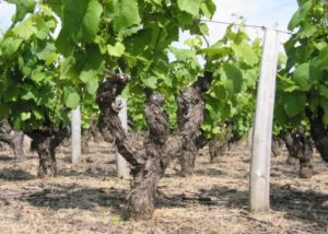 Vineyard of the Gaec _TOPAZE_ winery