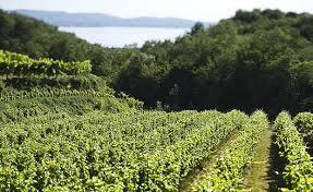 Vineyard of Gordia winery