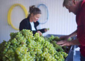 Harvested grapes of Guldbæk vingård winery