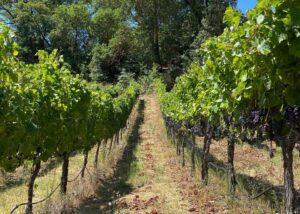 Vineyards of Gustafson family vineyards