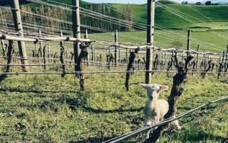 Vineyard of Hopesgrove winery