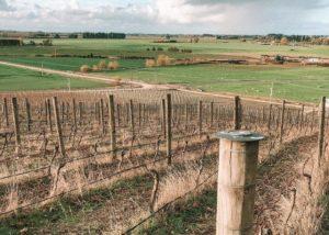 Dried vineyard of Hopesgrove winery