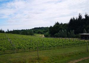 Beautiful vineyard of Huxbear Vineyard