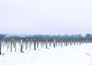 Vineyard of Jenkyn place vineyards covered in snow