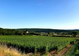 Beautiful vineyard of the KROLO WINERY