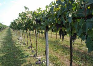 la frassina-vineyard