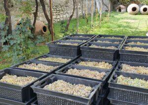 Harvested grapes of Lekso's Marani winery