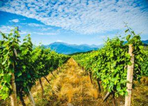 Vineyard view of the Ltd Winery Chelti winery