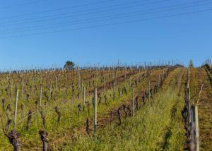 Vineyard of Luís Pato winery