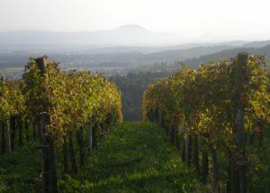 Vineyard of M-enostavno dobra vina winery
