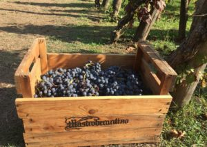 Black grapes of the mastroberardino winery