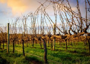 vineyard of McHenry Hohnen winery