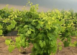 Vineyards of Medina River WInery