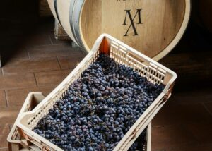 Black harvested grapes at Menegotti winery