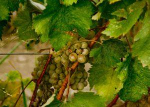 White grape vines in the vineyard of the Mestvireni winery