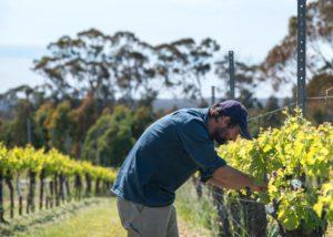 Vineyard of Mount Avoca Winery