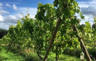 Row of vines in Oatley vineyard winery
