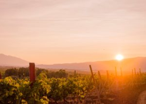 Vineyard at sunset at the orbelia winery