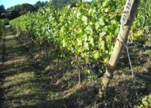 Vineyard of Plum hill vineyards