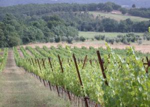vineyard of podere riparbella