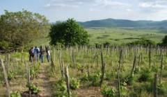 Vineyard of the Samuel Tinon Tokaj winery