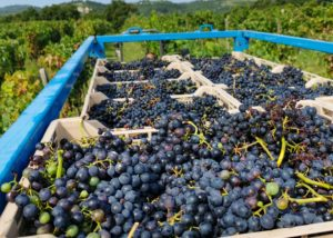 Black grapes at Santomas Winery