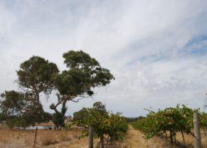 Vineyard of the Smallfry wines winery