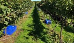 Vineyard of Stopham winery