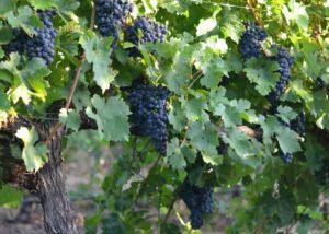 Vineyard of the Talisman Wines winery