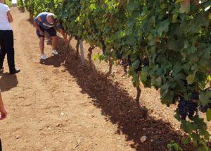 A man working in the vineyard of the tenuta patruno perniola winery