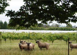 Animals in the vineyard of Tractorless Vineyard winery