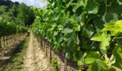 Vineyard of uisglian del vescovo winery
