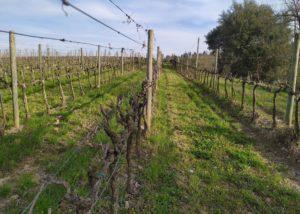 Vineyard of the uisglian del vescovo winery