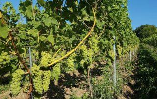 Vineyard of the Vin du Pays de Herve winery
