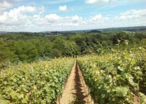 Vineyard view of the Vina Kosutic winery