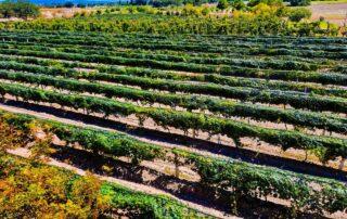 Vineyard of Viña Las Cruces winery