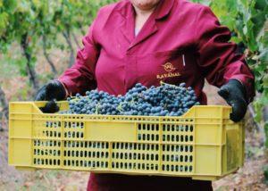 A woman carrying harvested grapes at VIÑA RAVANAL winery