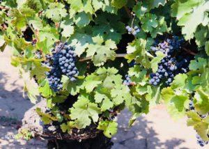 Grapes in the vineyard of VIÑA RAVANAL winery