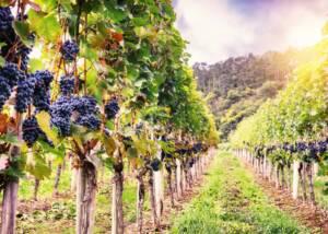 Grapes at Podere 7 Vineyards