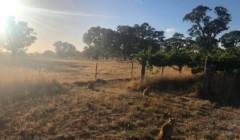 Vineyard of Wando Lodge Wines winery