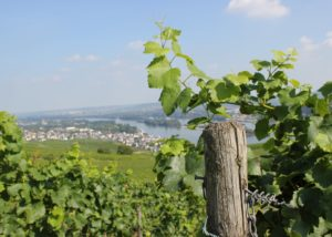 """Vineyards of Weingut Adolf Störzel Winery with a village in the background. """