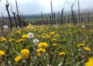 A row of yellow flowering plants between rows of vines in the vineyard of Weingut H.Engelhard winery.