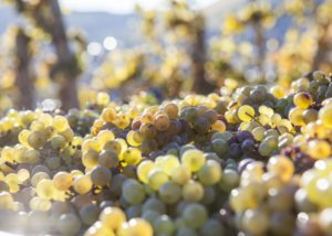 grapes at weingut peter lauer
