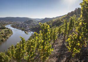 vineyard of weingut peter lauer