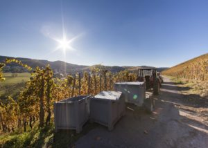 harvesting grapes at weingut peter lauer