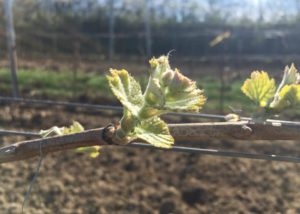 Vineyard of the Weingut Peter Schweiger winery